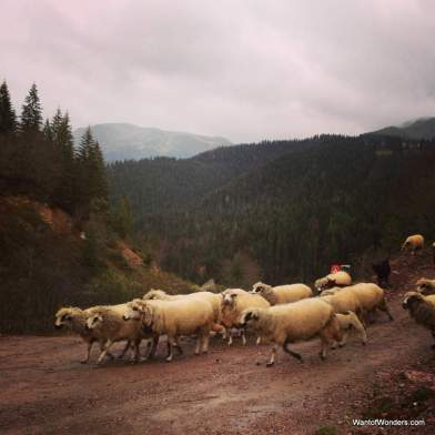 Watch out for sheep on the trails in Rugova