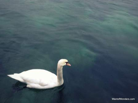Swan in Lake Geneva