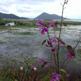 Flowers along Skadar Lake