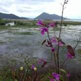 Flowers along Skadar Lake